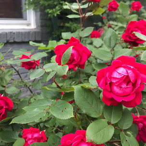 easy roses to grow