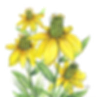 green headed coneflower