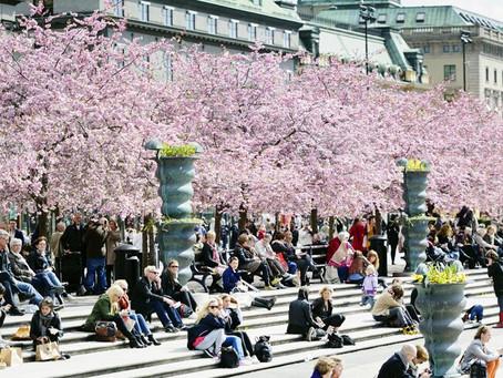 Kirsikankukat Kungsträdgårdenissa