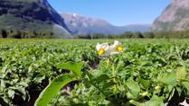 Potetplante i blomstring, Foto: Elin Hoven Heggseth