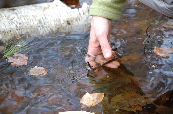 Showing salamander eggs_EDavis.jpg