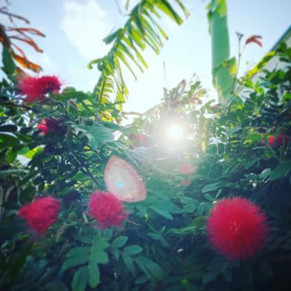 ぼんぼんの花