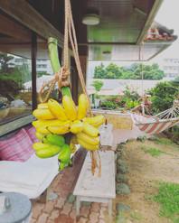 庭でとれたバナナ