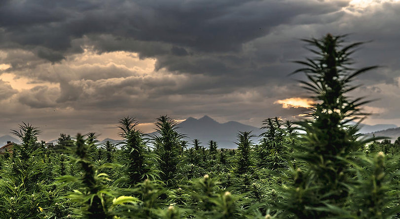 1-hemp-field-sunset-8-hemp-art.jpg