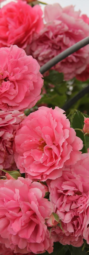Rosen in Hülle und Fülle - Rosengarten-Wanderweg bei Kapellen-Drusweiler