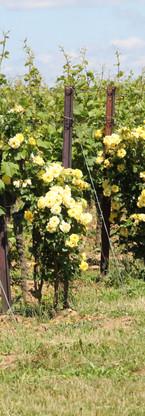 Rosen & Wein am Rosengarten-Wanderweg