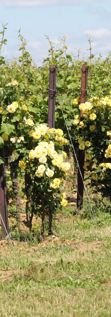 Rosenbüsche entlang des Rosengarten-Wanderwegs