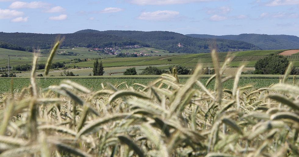 Blick auf Burg Landeck nahe Kapellen-Drusweiler, No. 31 im Rosengarten