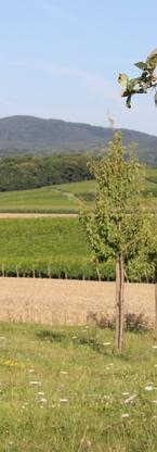 Weinlage Kapellener Rosengarten mit Apfe