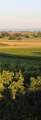 Blick auf Weinlage Rosengarten bei Kapel