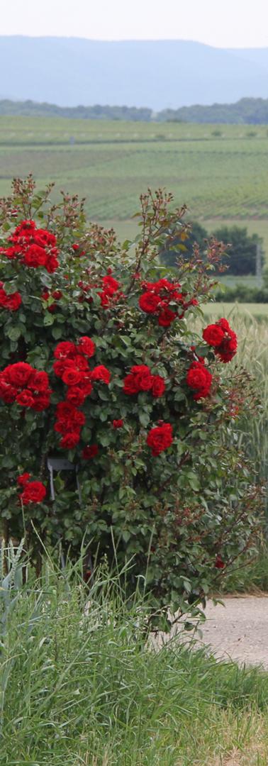 Rosenbusch auf dem Teilstück Rosengarten-Wanderweg.png