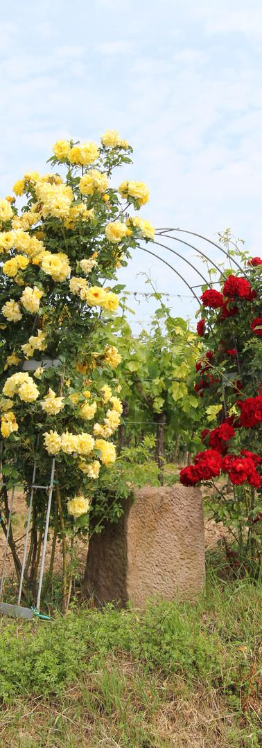 Rosenbogen am Rosengarten-Wanderweg