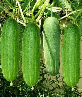 cucumber201600111.jpg
