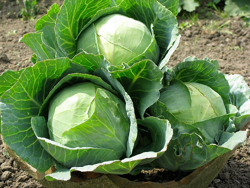 cabbages20160001211.jpg