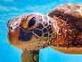 Close up sea turtle swimming in Hawaii by Eric J. Simon