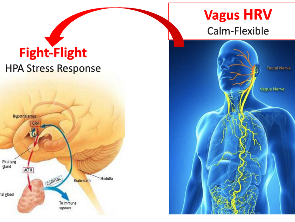 Fight-flight verus Vagus-flexible Responses