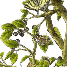 Farfalle del prugnolo