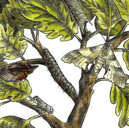 Falene della quercia