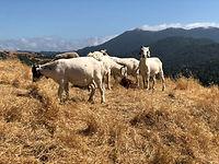 Marin Goats.jpg