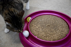Cat playing with toy in cat stay and play room