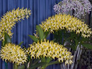 Dendrobium. speciosum. 'Maddison' AM/AOC-OSNSW-ANOS 2015