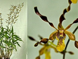 Dendrobium Touch of Gold 'Laura' HCC/AOC-OSNSW
