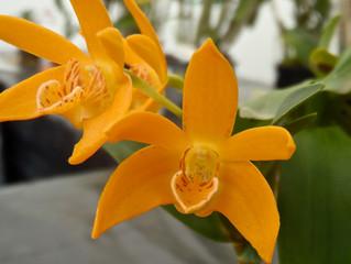Dendrobium. Tangeloats
