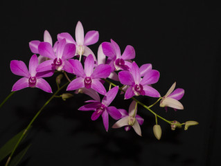 Growing Dendrobium bigibbumand its hybrids in New South Wales