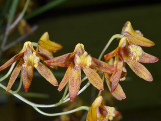 Dendrobium Tweetas - a terrific trio
