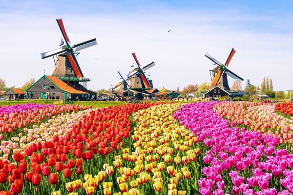 tulip-fields-and-windmills.jpg