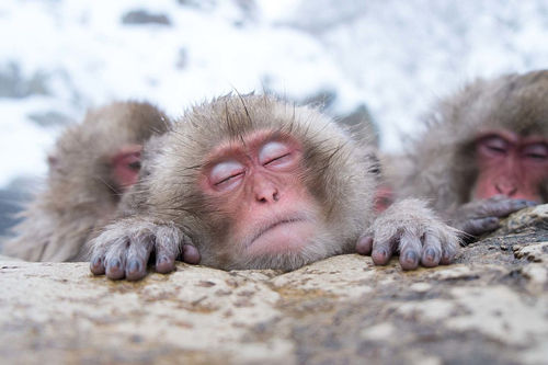 Japanese-snow-monkeys-relaxing-in-the-wa