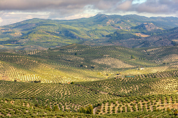 olive-tree-plantation-in-Andalusia-Spain