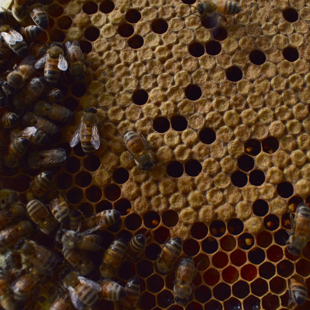 Some local honeybees hard at work!