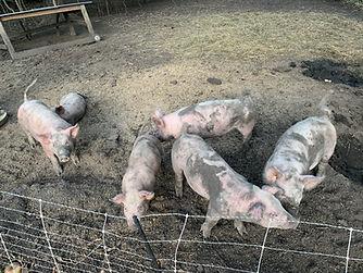 Pigs 2021.jpg