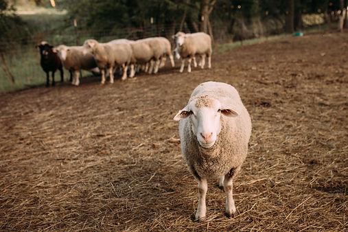 Meet the Sheep November.jpg
