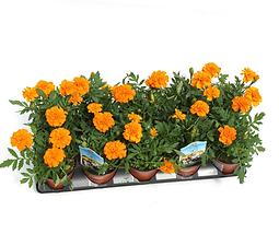 marigolds.png