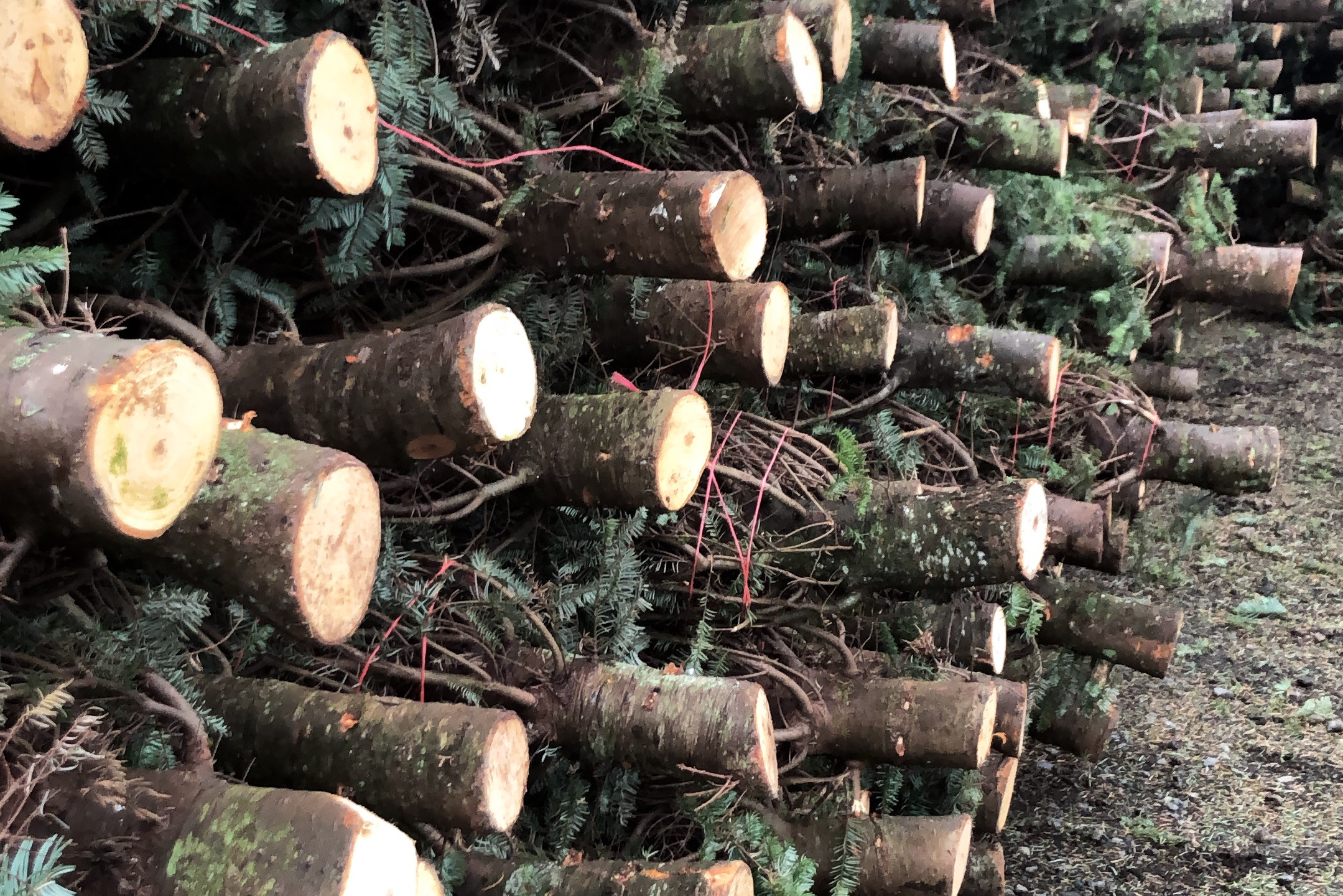 Cut and stacked trees bound and ready to be loaded