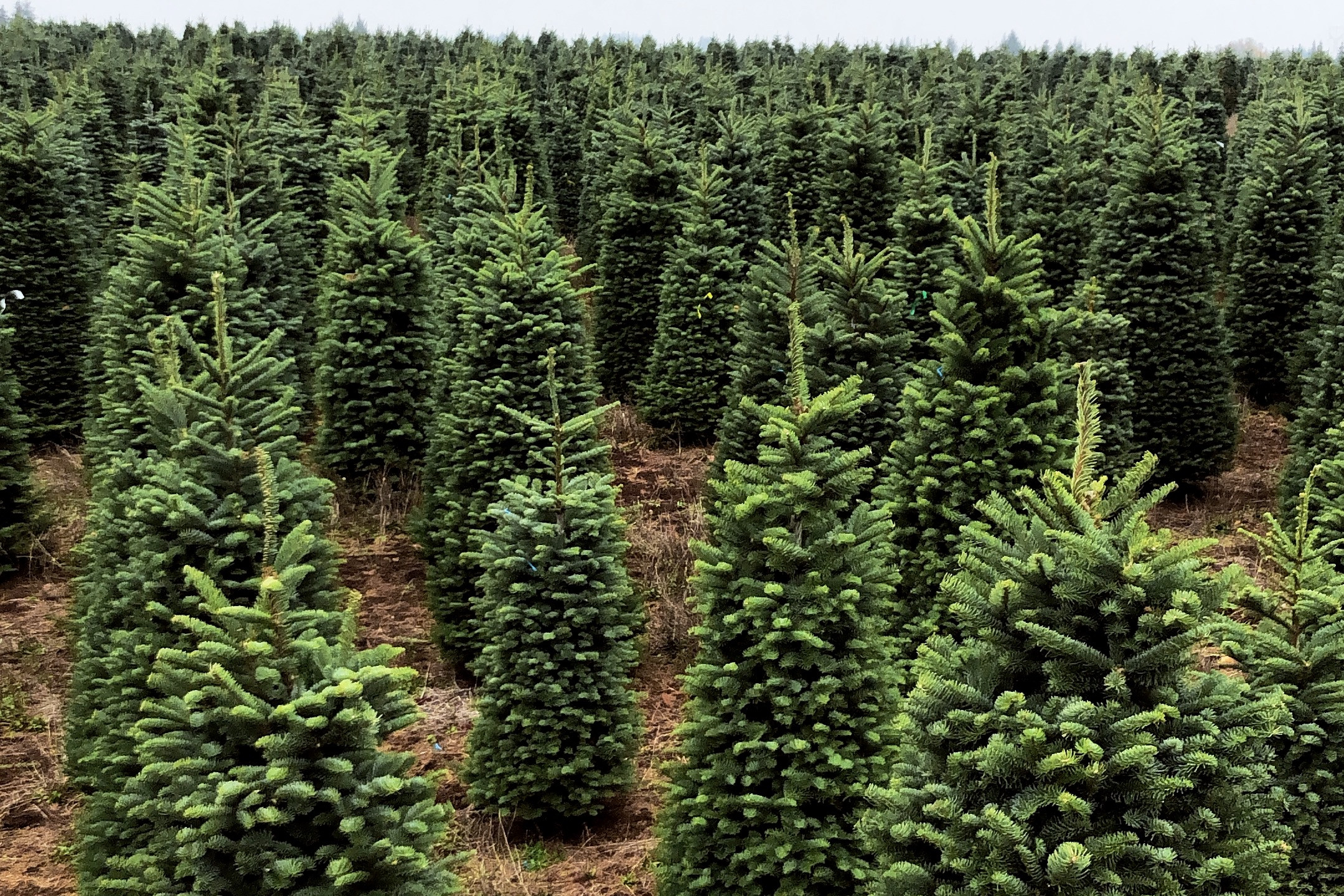 Christmas tree farm full of Noble Firs