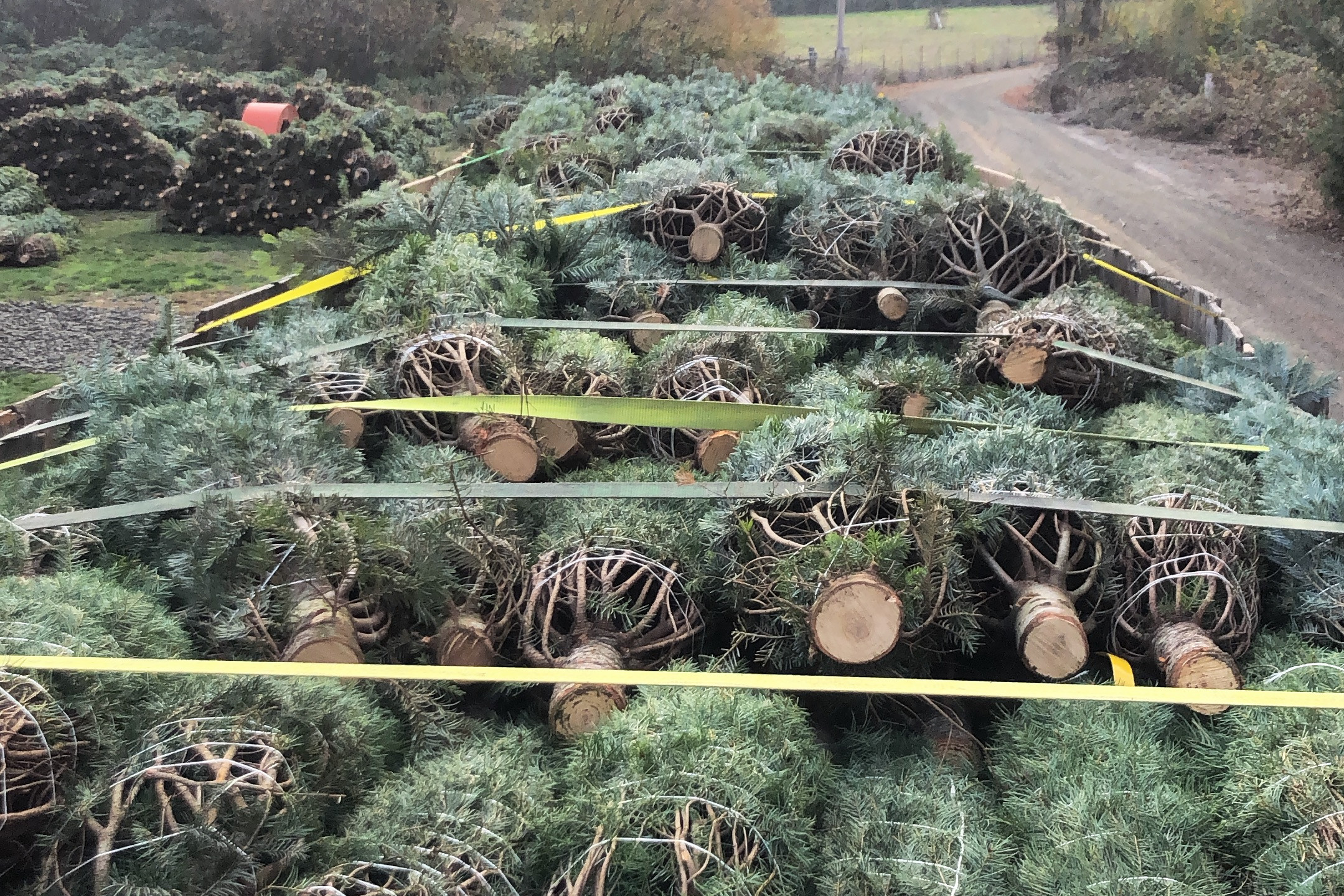 Christmas trees loaded and strapped in for the journey home