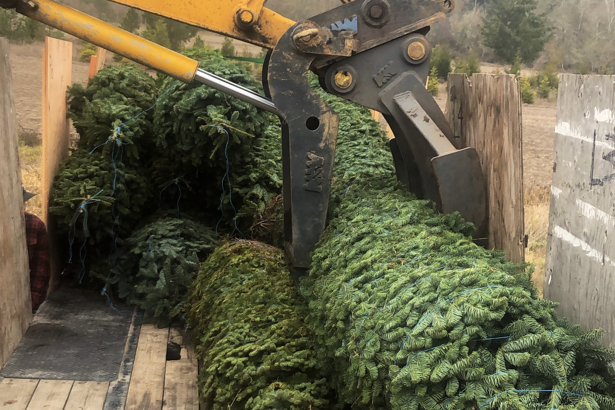 Loading large Christmas trees in trailer