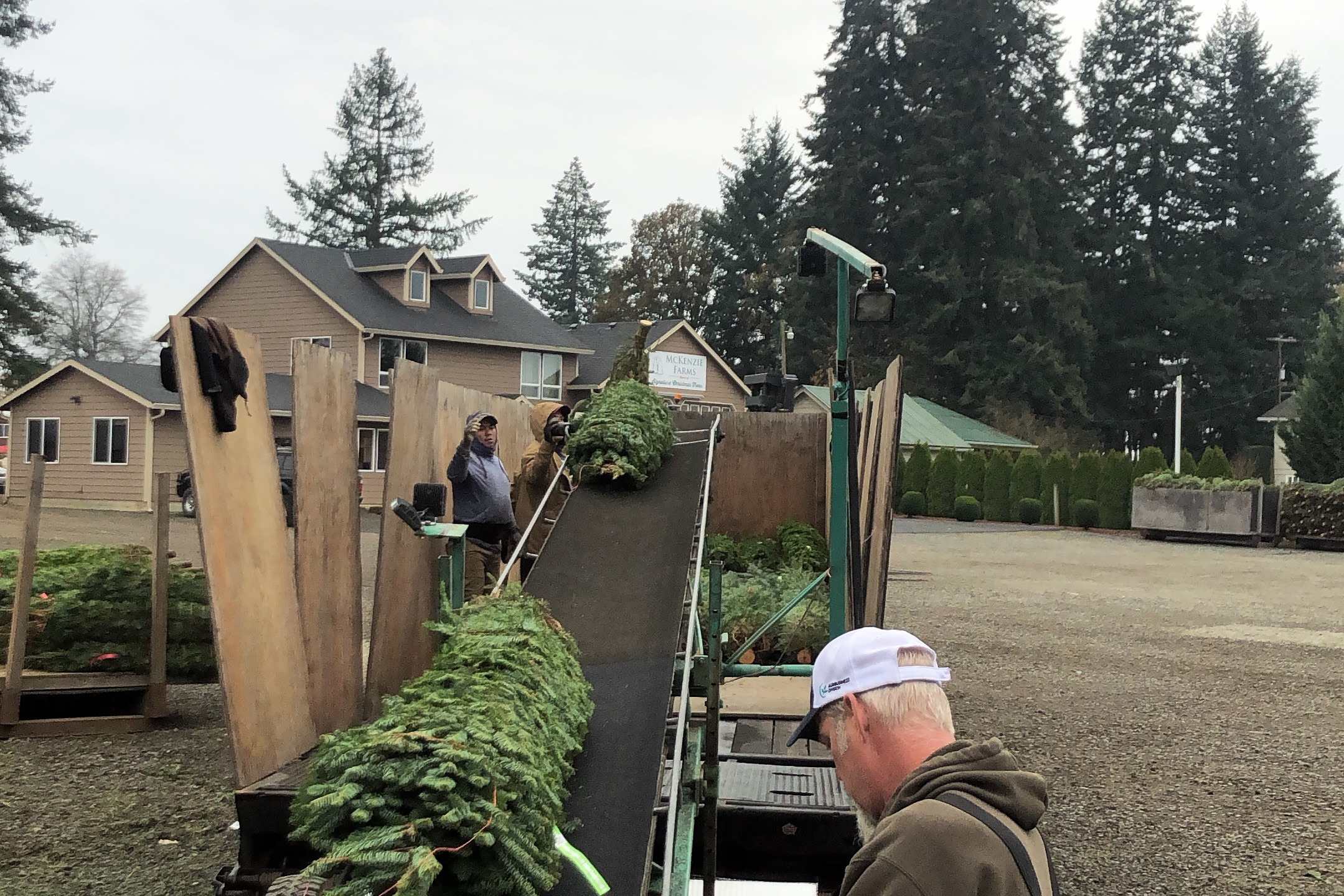 Loading smaller Christmas trees into trailer with conveyor belt