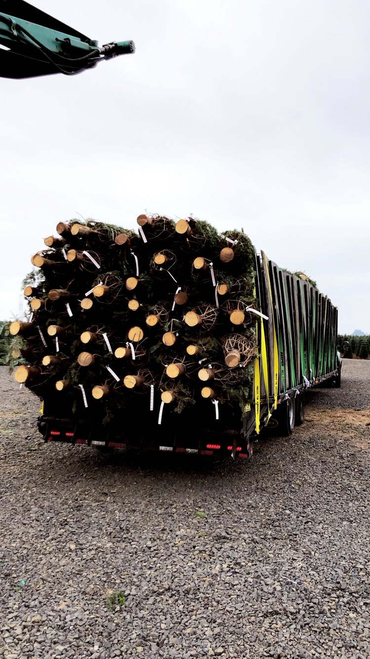 Trailer fully loaded with fresh cut Christmas trees