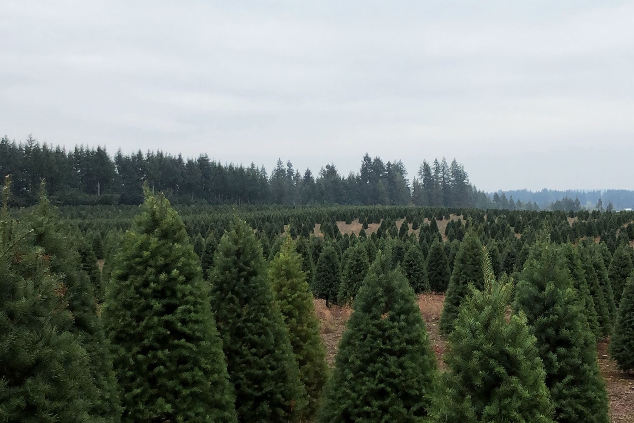 Christmas tree farm full of Douglas Firs