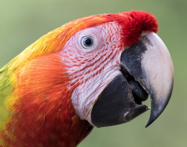 Macaw, Costa Rica rain forest