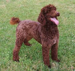Woody Standard Poodle Stud