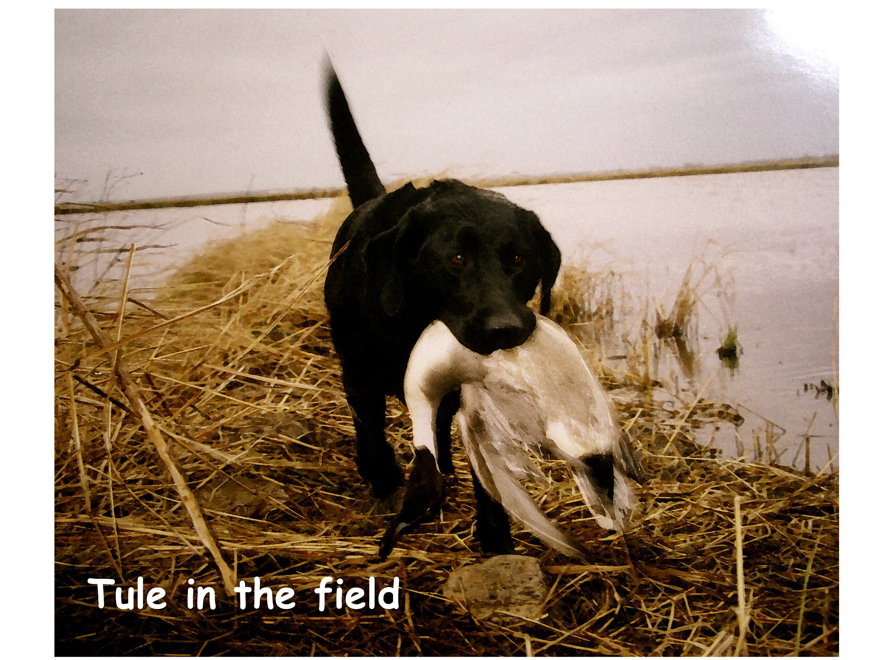 Tule In the Field