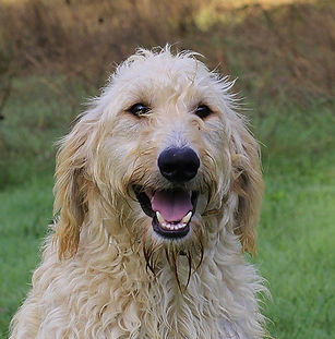 Pearly F1B Labradoodle