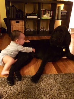 F1B Labradoodle Therapy Dog