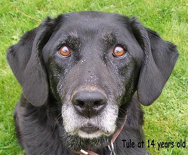 Tule 14 year old Black Labrador Retriever