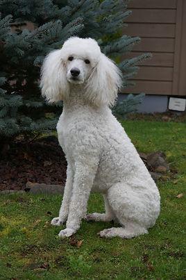 Claire Standard Poodle